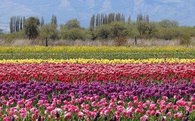 El impresionante campo de tulipanes de Argentina