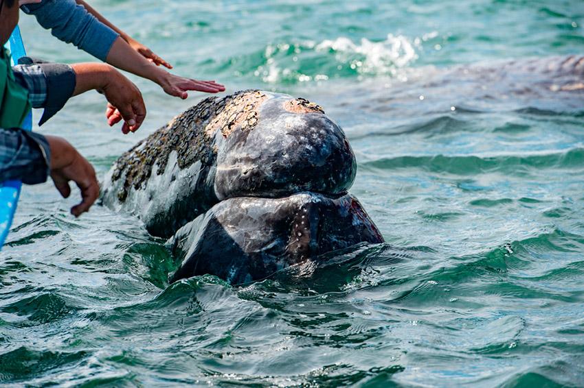 Avistamiento de Ballenas, uno de los eventos de México