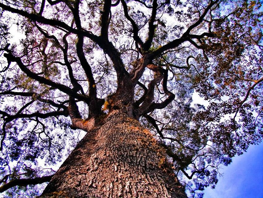 Patriarca da Floresta, uno de los árboles más antiguos del mundo