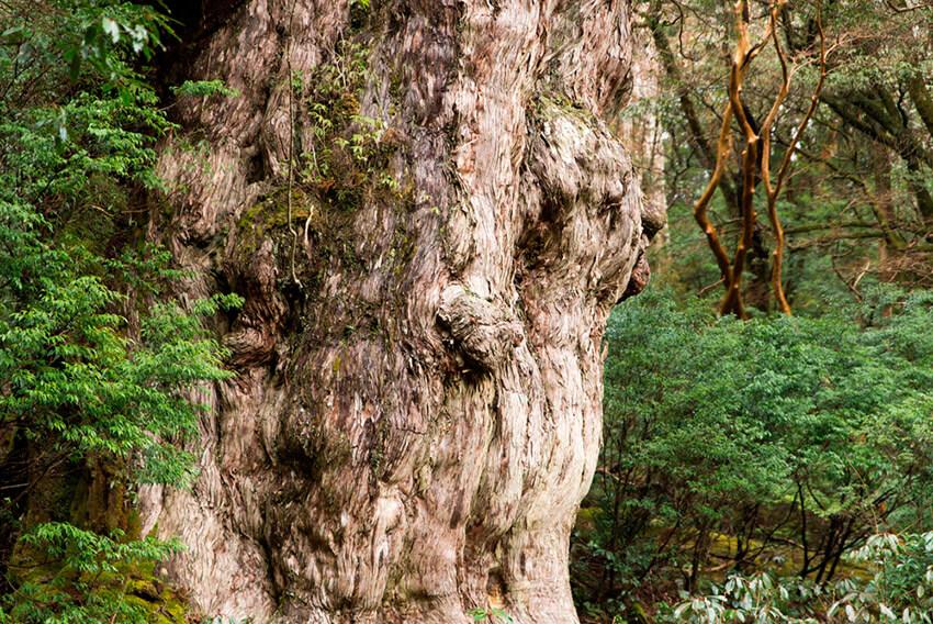 Jōmon Sugi, uno de los árboles más antiguos del mundo