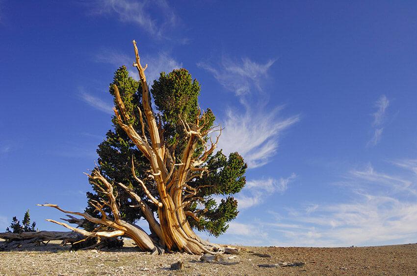 Matusalén, uno de los árboles más antiguos del mundo