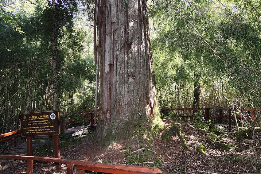 Gran Abuelo Alerce, uno de los árboles más antiguos del mundo