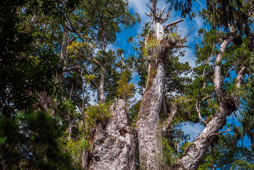 Te Matua Ngahera, uno de los árboles más antiguos del mundo