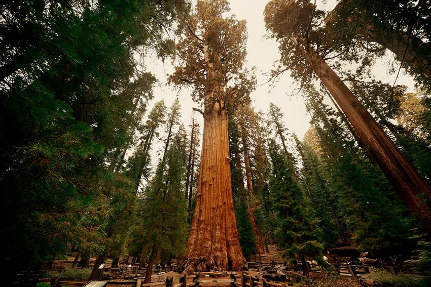 General Sherman, uno de los árboles más antiguos del mundo