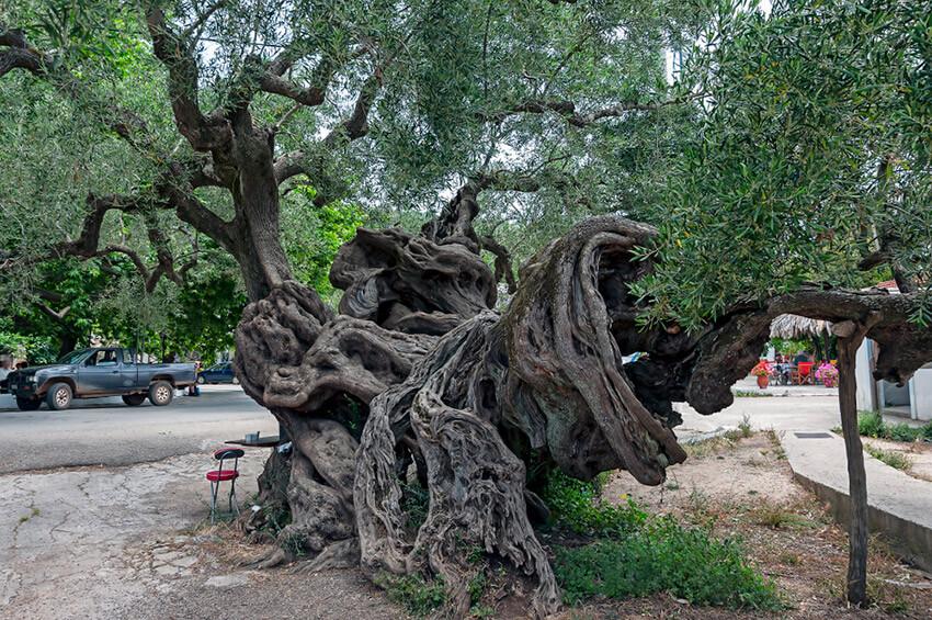 Olivo de Vouves, uno de los árboles más antiguos del mundo