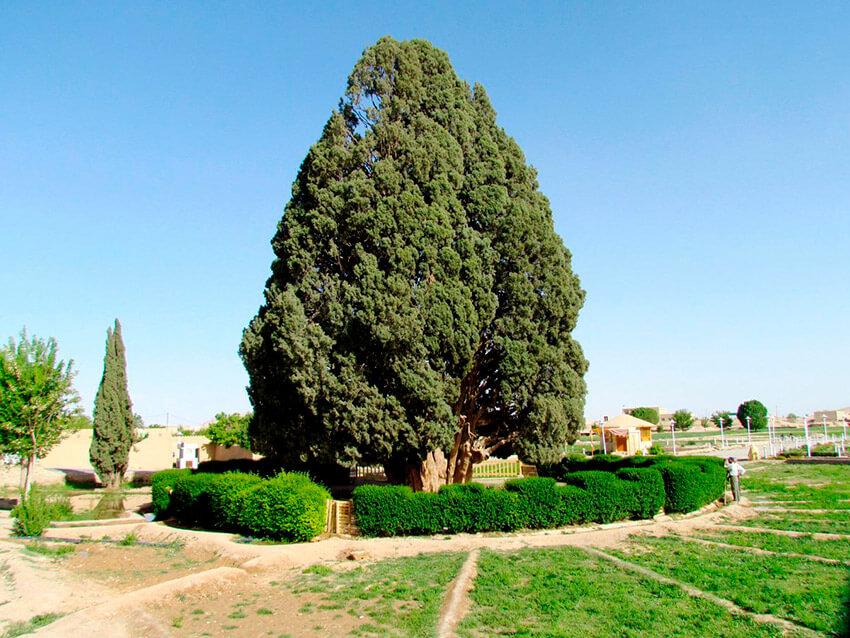 Sarv - e - Abarkooh, uno de los árboles más antiguos del mundo