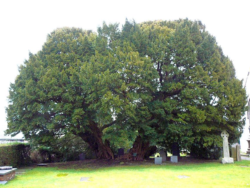 Tejo Llangernyw, uno de los árboles más antiguos del mundo