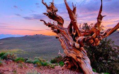 Los árboles más antiguos del mundo que tienes que descubrir