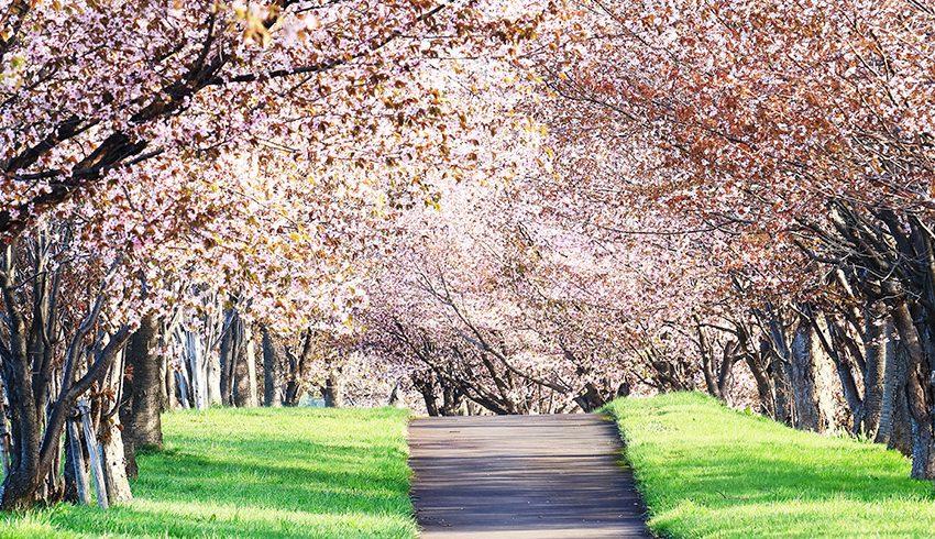 Pasos para celebrar el Hanami, la floración del cerezo en Japón