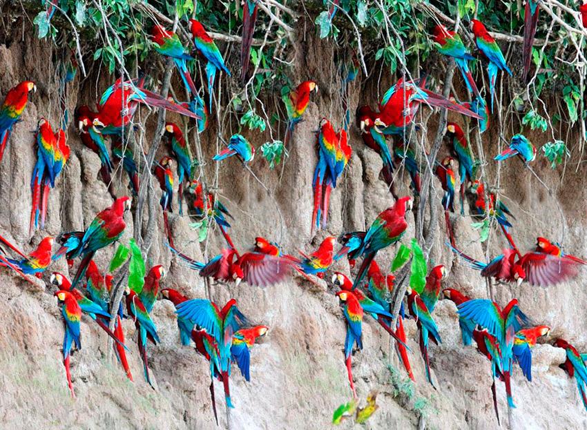 Parrot Clay Liks, uno de los paisajes del Amazonas en Ecuador